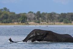 10074773 (wolfgangkaehler) Tags: africa elephant water river mammal nationalpark african wildlife bull bulls malawi bathing riverbank mammals africanelephant maleanimal malawian liwondenationalpark shireriver africanelephantloxodontaafricana