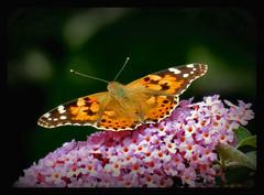 Distelfalter (karin_b1966) Tags: schmetterling butterfly insekt insect garten garden natur nature 2016 distelfalter yourbestoftoday