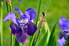 L'iris bleu (Olivier Simard Photographie) Tags: paris jardindesplantes fleur flore iris bleu mauve violet bokeh feuilles ptales pistil couleur gardenofplants flower flora blue purple leaves petals color