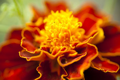 marigold (kitnekit) Tags: plant flower flowerbud blossom macro closeup petal flowering bloom florescence colorful nature herbal