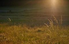 Meadow (I)/Prado (I) (Modesto Vega) Tags: meadow prado pineforest forest pinar grass pollen sun sunray gredos nikon nikond600 fullframe