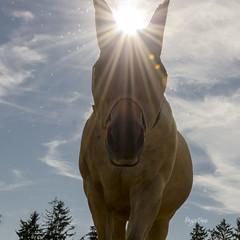 28/52_Lens Flare_Cherizan (regis.muno) Tags: horse france lens cheval alsace lensflare flare halos contrejour quarterhorse hoerdt nikond7000 haloslumineux 52weeksthe2016edition week282016 weekstartingfridayjuly82016
