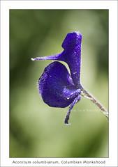 Aconitum columbianum, monkshood (red_delphinium  AKA Lara hartley AKA redshoe) Tags: purple ranunculaceae monkshood easternsierra onionvalley aconitumcolumbianum eastensierranevadamountains