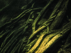 River drinks the light (flowerweaver) Tags: underwater river riverbank serene green roots baldcypress reaching quiet peaceful filteredlight light