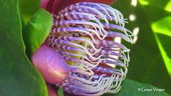 Passion flower ( Graa Vargas ) Tags: passionflower flordemaracuj passifloracaerulea passiflora flower graavargas2016allrightsreserved 15512010816 graavargas