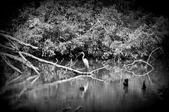 snowy egret in a monochrome world (David Sebben) Tags: snowy egret monochrome black white iowa mississippi river nature bird reflection