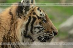 Amur Tiger Kitten Profile (ficktionphotography) Tags: tiger profile bigcat bronxzoo siberiantiger amurtiger zoophotography
