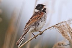 REED BUNTING (M) / OARE MARSHES / KENT / U.K / EXPLORED. (Tom Webzell) Tags: naturethroughthelens