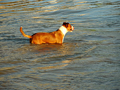 waiting for the next wave (kenjet) Tags: ocean dog beach animal puppy hawaii furry friend waiting surf pacific waikiki oahu wave lick pacificocean friendly mansbestfriend waikikibeach surfdog