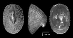 MOL_ 1649_P_granulata_2135_01_524x274.gif (MaKuriwa) Tags: mollusca gastropoda archaeogastropoda fissurellidae puncturella