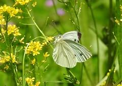 Pieris brassicae (ermenegildore) Tags: flowers macro nature butterfly butterflies natura fiori farfalla farfalle