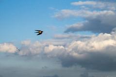 Delichon (AlexandrMeshkov) Tags:          bird birds delichon russia taganrog taganrogbay azovsea sea