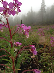 Flowers & Forests (Cilia Schubert) Tags: forest forestry flower flowers flora fauna nature travel sweden pink purple foggy fog misty tree hike hikinh hiking picture