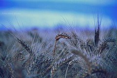 Grain at sunrise :) (Anne takes photos) Tags: grain sunrise light lovely beauty beautiful bokeh blue atmosphere detail tiny mystery summer little simply photography flowers different canon 50d