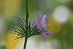 Dans un bokeh jaune blanc vert (! Nature Bx !) Tags: dauphinelle delphinium nature fleur flower bokeh macro img7669