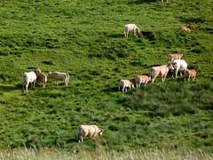 A la queue leu leu..... (brigeham34) Tags: rando cheminsdecompostelle viapodiensis gr65 domainelesauvage campagne prairiesfleuries vallonnements troupeau vaches veaux taureau raceaubrac chnerailles margeride hauteloire auvergne france fz45 eu