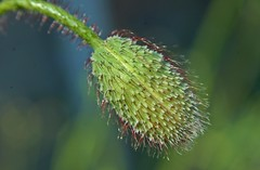 Hairy Bud (nigelphillips) Tags: flora bud seed summer macro nature green