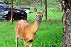 DSC_6875d (davids_studio) Tags: deer backyard city urban foraging sunday morning