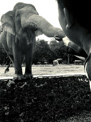 Connection (dptro) Tags: separate gaps blackandwhite mobilephotography maleelephants offerings connection endangeredspecies elephanttrunk mammals elephant asianelephant