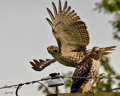 Red Tail Hawks - Buzzing the Tower! (dbking2162) Tags: birds bird birdofprey nature wildlife outside outdoor muncie indiana animal flight
