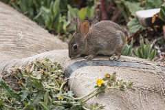 Brush Rabbit (J.B. Churchill) Tags: hares brushrabbit ca california lagomorphs mammals pikas pillarpoint places rabbits sanmateo sylvilagusbachmani taxonomy halfmoonbay unitedstates us