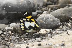 Delias antara solana (pirotake) Tags: delias papua pieridae butterflies butterfly schmetterling insect wild wildlife indonesia