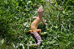 lil boy (tomate122) Tags: pastel lavender leopardgecko reptile bell sunshine sunny yellow tangerine