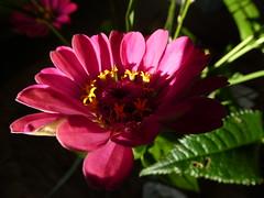 zinnia elegans (polletjes) Tags: zinnia bloem flower fleur blume rose roze pink natuur nature groen green vert