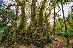 Antarctic Beech Trees (rachelsloman) Tags: trees antarctic beech moss green nature springbrook australia qld