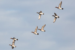untitled (robwiddowson) Tags: wildife nature natural bird birds ducks flying flight fly robertwiddowson photo photograph photography image picture