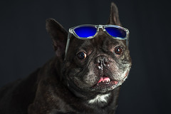 17/52 Mascota / Pet (Xisco Bibiloni) Tags: ifttt 500px sunglasses 52project 52week 52weekproject bulldog frances french gafas de sol mascota pet project52 project52week strobitst sugus portrait retrato dog perro bulldogfrances frenchbulldog gafasdesol animal
