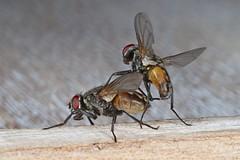 Rolf_Nagel-Fl-2038-Musca_domestica (Insektenflug) Tags: muscadomestica musca domestica housefly fly fliegend flight flying insects im airborne texel niederlande holland netherlands entomologie fauna fliege fliegen flug insekt insekten insektenflug stubenbfliege muscidae insect imflug inflight