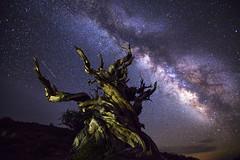 Guardian of Galaxy (Eunice Eunjin Oh) Tags: galaxy milkyway ancientbristleconepinetree whitemountain nightphotography star sky outdoor nightlight bishop easternsierra meteor shootingstar astrophotography inyo county