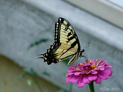 Tiger Swallowtail (Picsnapper1212) Tags: tigerswallowtail swallowtail butterfly insect animal nature zinnia yellow black pink