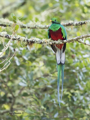 Resplendent Quetzal (Pharomachrus mocinno) (Jorge Chinchilla A.) Tags: resplendent quetzal costarica birds jorgechinchilla photography pharomachrus mocinno