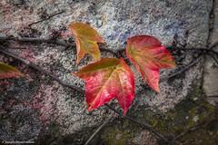 Farbenspiele  Herbstlaub (J.Weyerhuser) Tags: mainz rhein stadt rathaus zaun herbst autumn leaf