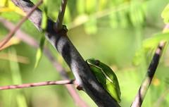 Green Tree Frog (robertemond) Tags: animal frog green tree amphibian