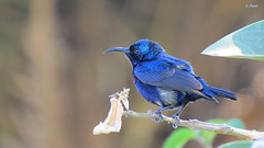 Purple Sunbird (male) (pani_mail) Tags: sunbird
