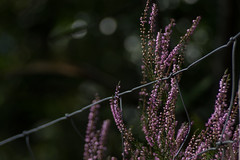 Can't Keep it In (Shastajak) Tags: heather fence wire flower bokeh fencefriday