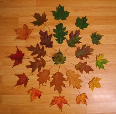 Cycle of Leaf  (2) (Simon Dell Photography) Tags: cycle leaf autumn fall colors maple leafs leaves leve wood back ground life simon dell photography art wall hanging print 2016 awsome xxx bbc winter sheffield hackenthorpe s12 shirebrook valley