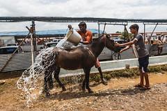 Cattle fair (BALAJI SEETHARAMAN) Tags: horse scorching sun bath people cattle fair india