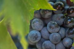Le temps des vendanges #3 (oxybis_photos) Tags: vignes raisin viticulture ctesdurhne vaucluse feuille