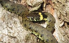 Grass Snake (Natrix natrix) (Julian Hodgson) Tags: grasssnake natrixnatrix snake reptile woodwaltonfen nationalnaturereserve cambridgeshire greatfen canonpowershotsx50hs