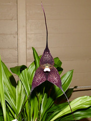 Dracula roezlii ('Beta' x 'Cow Hollow') species orchid (nolehace) Tags: dracula roezlii beta cow hollow species orchid 916 summer nolehace sanfrancisco fz1000 flower plant bloom