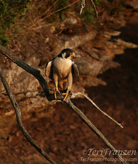 Peregrine Tiercel at Sunset (tkfranzen) Tags: peregrine tiercel falcon falcoperegrinus spring2016 birdphotography scenesfromablind photographedfromablind camouflage sunset goldenlight canon tnclivenature animalplanet conservation