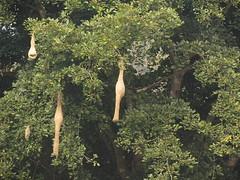 IMG_8244 (mohandep) Tags: nests manchanbelekarnatakawildlifenaturebirding jaipurdoddi bannerghatta