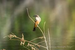 Say's Phoebe (playful_i) Tags: cormorants grp gwp gwr gilbert preserve riparian waterranch birds ducks egrets lake pond water
