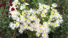 A set of beautiful Chandramallika Flowers (Kunal-Chowdhury) Tags: flowers flower nature nokia natural naturelovers naturelover lumia flowerlovers flowerlover chandramallika lumia1020 shotonmylumia