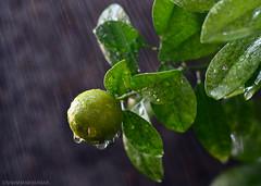 Citrus Rain (Shashank_Kumar) Tags: orange green water rain closeup fruit lemon bokeh citrus