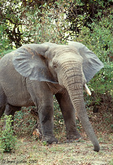 Elephant - Nazinga Game Ranch, BURKINA FASO - 2002 (brun@x - Africa: birds & more) Tags: ranch elephant game mammals bruno burkina faso portier nazinga brunoportier